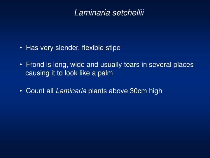 Laminaria setchellii