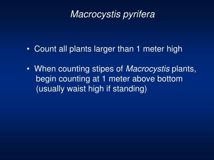 Macrocystis pyrifera