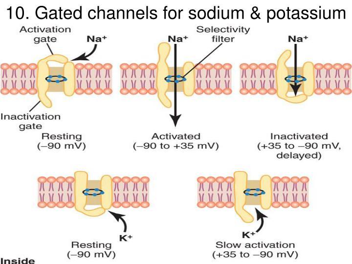 10. Gated channels for sodium & potassium