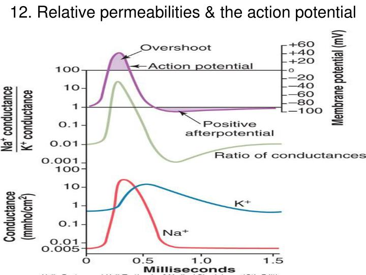 12. Relative permeabilities & the action potential