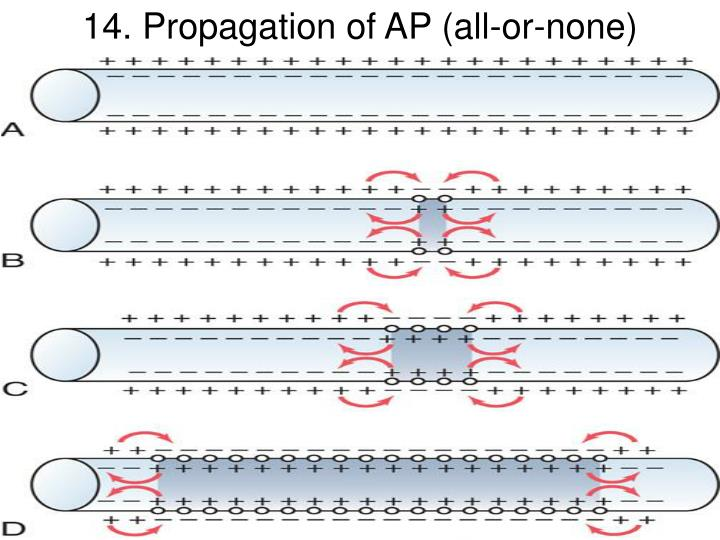 14. Propagation of AP (all-or-none)