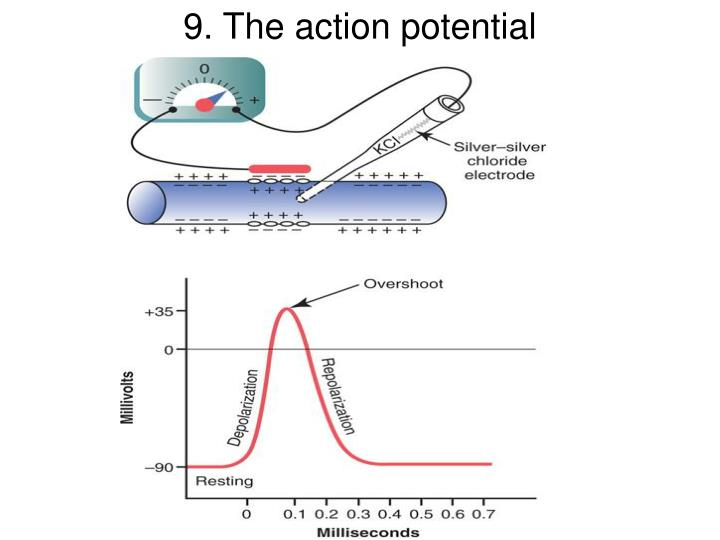 9. The action potential
