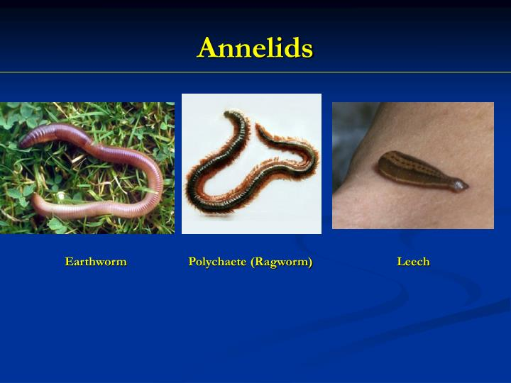 Annelids1
