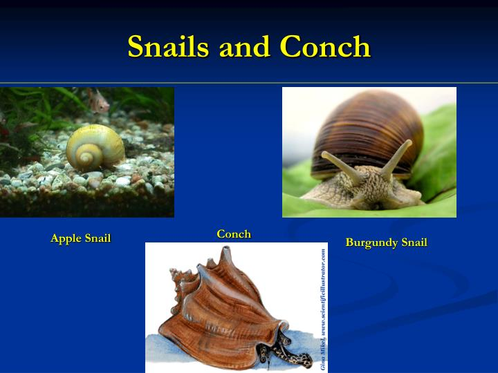 Snails and Conch