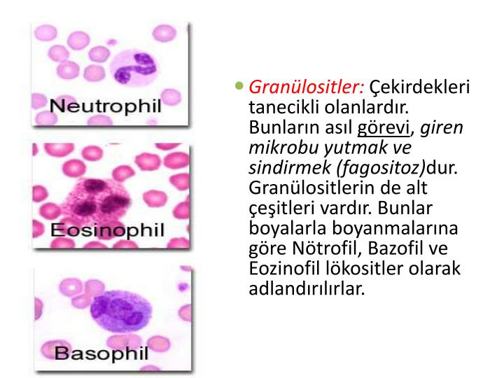 Granülositler