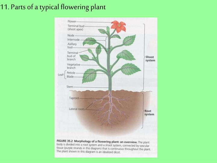 11. Parts of a typical flowering plant