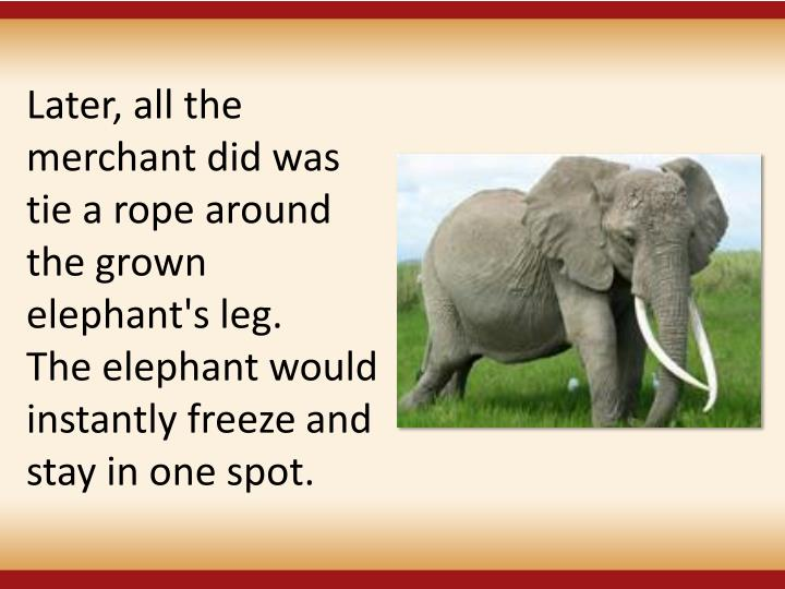 Later, all the merchant did was tie a rope around the grown elephant's leg.