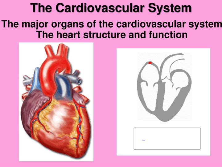 PPT - The Cardiovascular System PowerPoint Presentation - ID:5453835