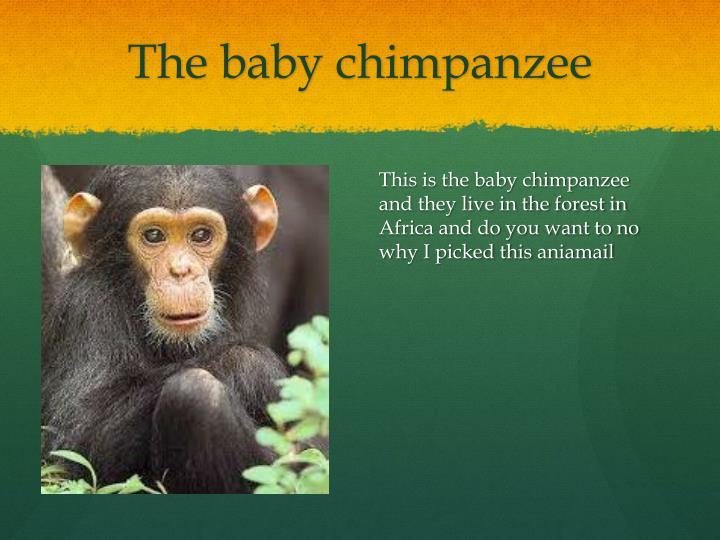 The baby chimpanzee