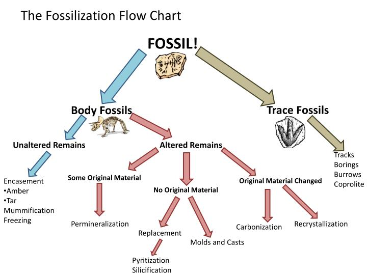 the fossilization flow chart n.