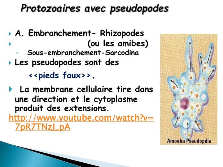 Protozoaires