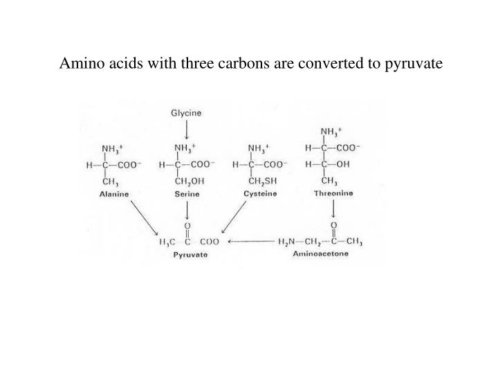 Amino acids with three carbons are converted to pyruvate