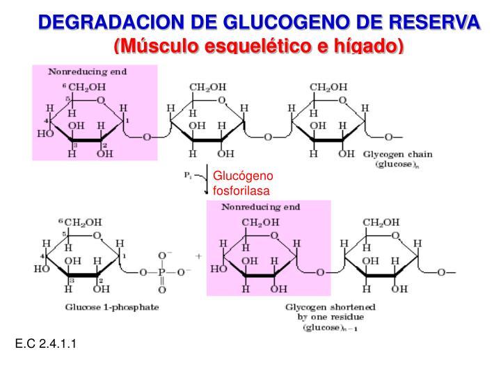 Glucógeno fosforilasa