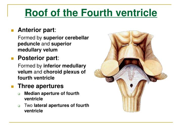 Ppt the brain stem powerpoint presentation id 5459334 for Floor of fourth ventricle