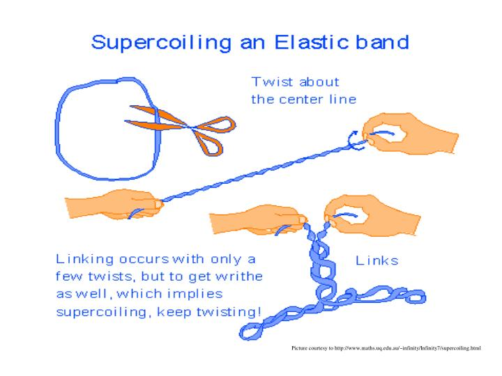 Picture courtesy to http://www.maths.uq.edu.au/~infinity/Infinity7/supercoiling.html