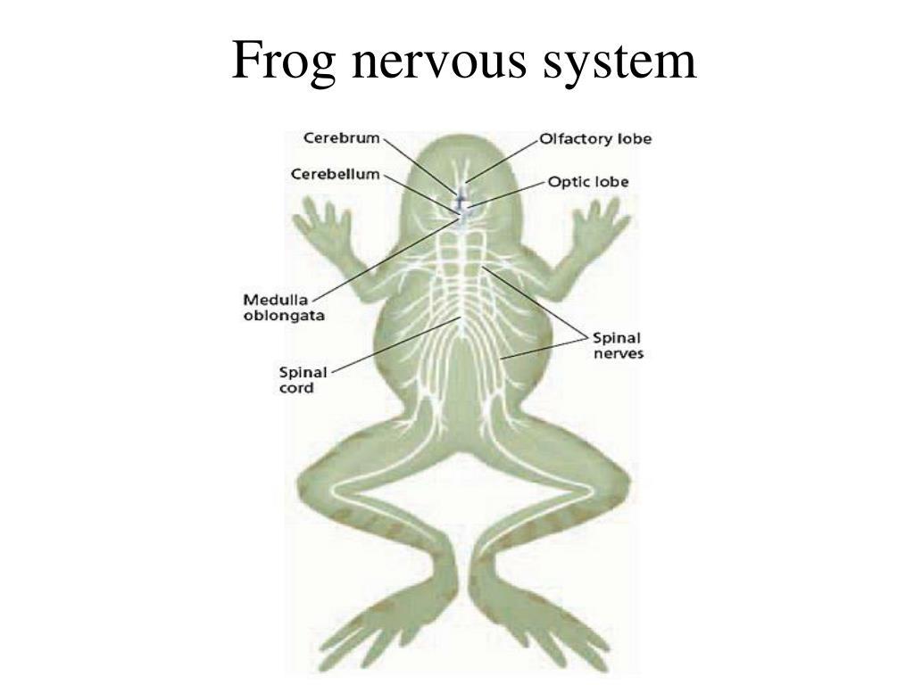 PPT - Class: Amphibians (Chapter 40) The name amphibian ...