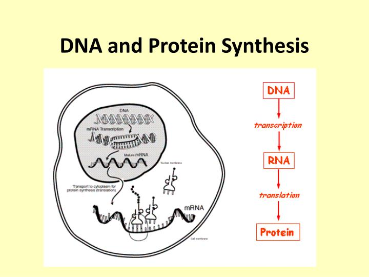 PPT - DNA and Protein Synthesis PowerPoint Presentation - ID