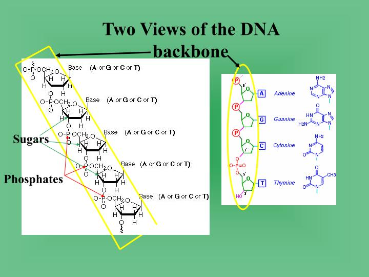 Two Views of the DNA backbone