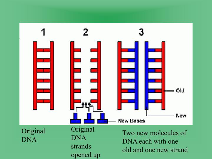 Original DNA strands opened up