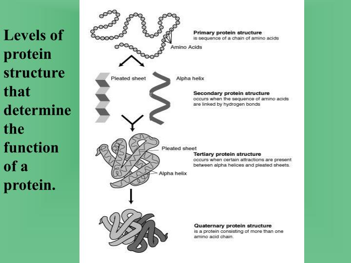 Levels of protein structure that determine the function of a protein.