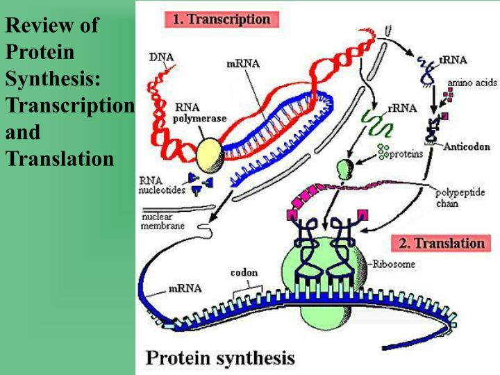 Review of Protein Synthesis: Transcription and Translation