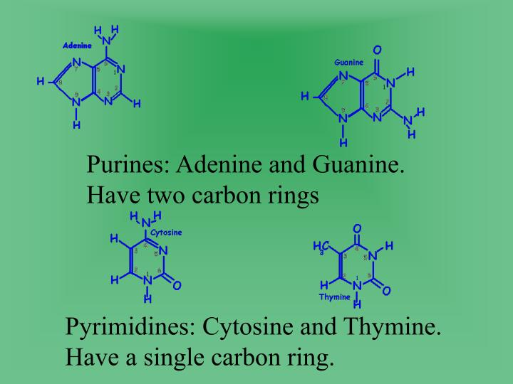 Purines: Adenine and Guanine. Have two carbon rings