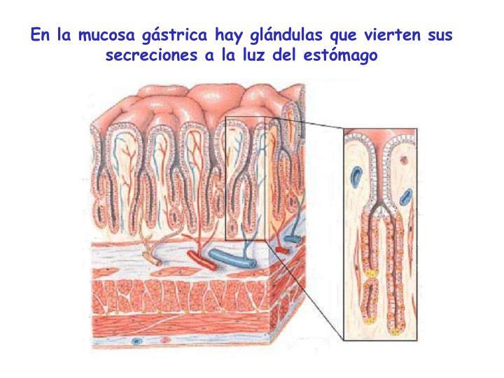 En la mucosa gástrica hay glándulas que vierten sus secreciones a la luz del estómago
