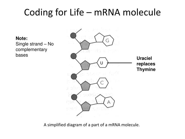 Coding for Life – mRNA molecule