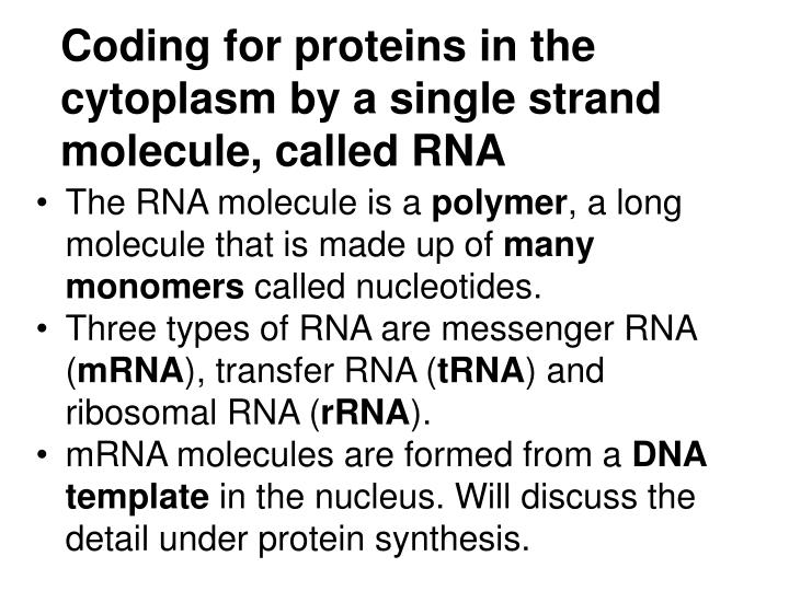 Coding for proteins in the cytoplasm by a single strand molecule called rna