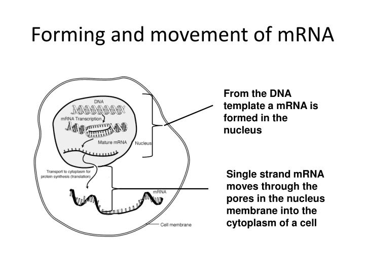 Forming and movement of mRNA