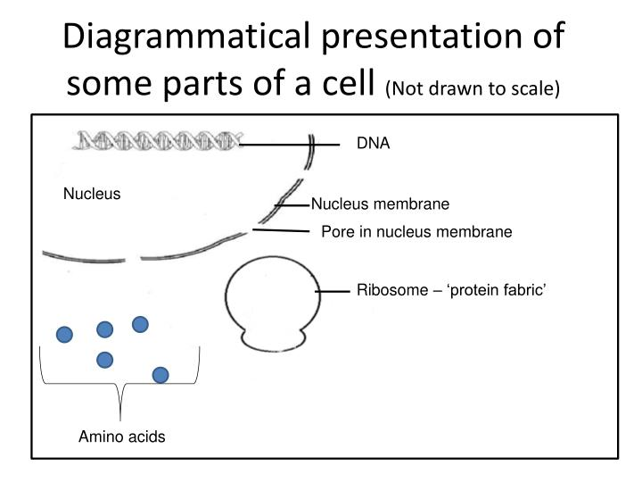 Diagrammatical presentation of some parts of a cell