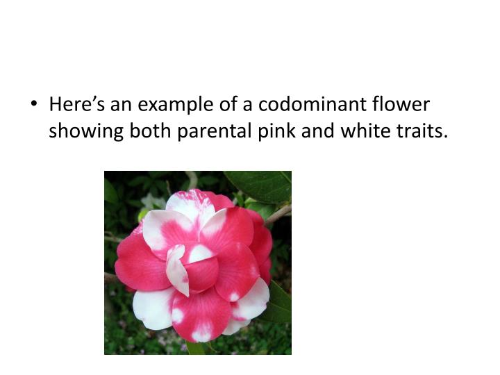 Here's an example of a codominant flower showing both parental pink and white traits.
