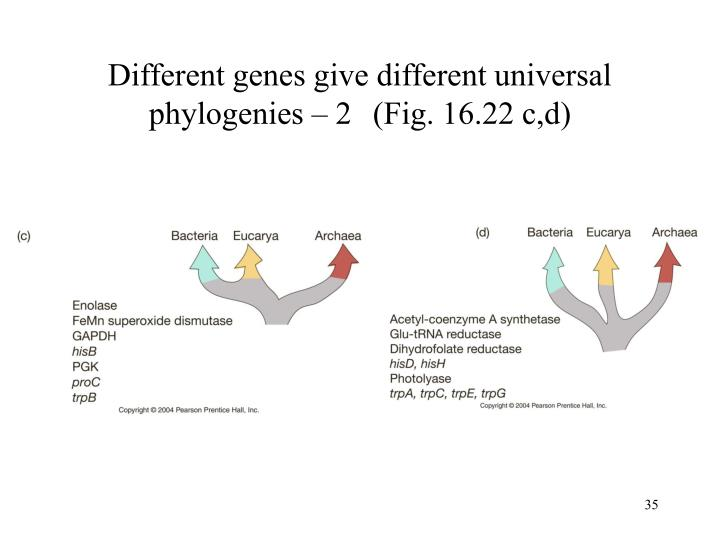 Different genes give different universal phylogenies – 2	 (Fig. 16.22 c,d)