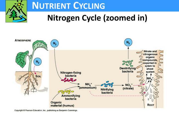 Nitrogen Cycle (zoomed in)