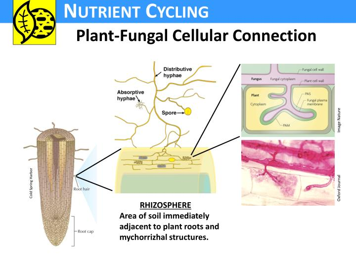 Plant-Fungal Cellular Connection