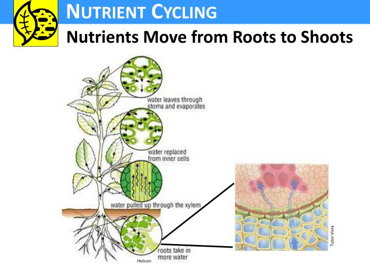 Nutrients Move from Roots to Shoots