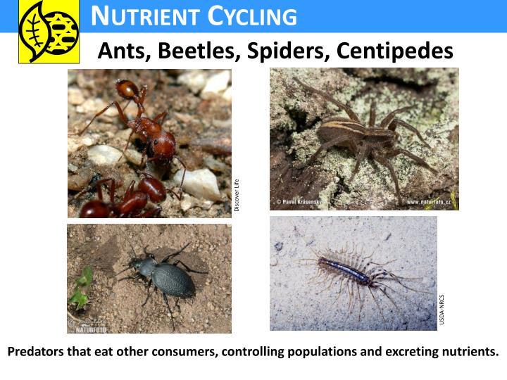 Ants, Beetles, Spiders, Centipedes