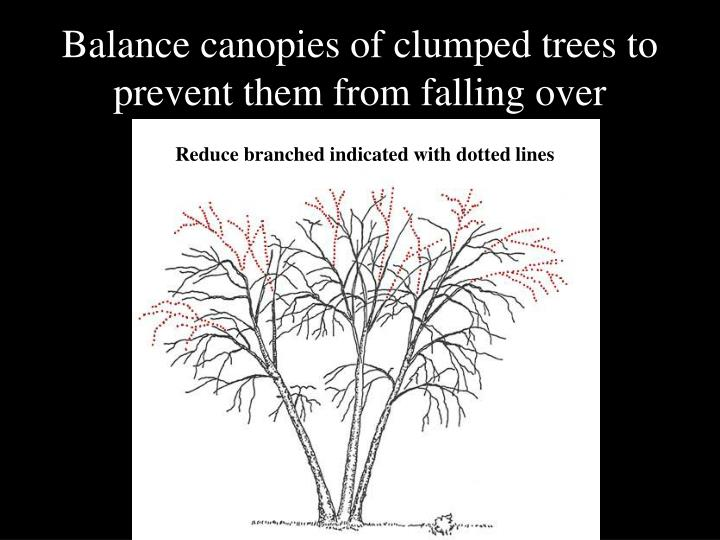 Balance canopies of clumped trees to prevent them from falling over