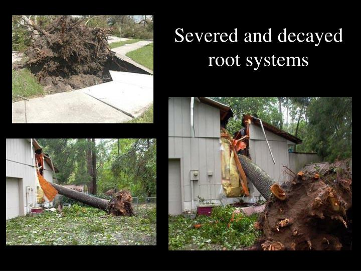 Severed and decayed root systems