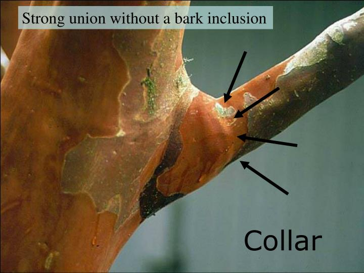 Strong union without a bark inclusion