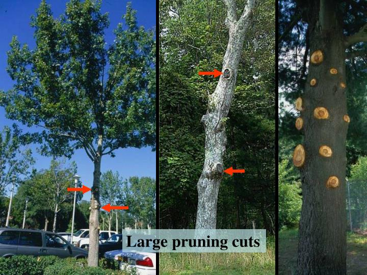 Large pruning cuts