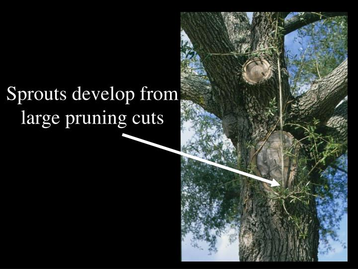 Sprouts develop from large pruning cuts