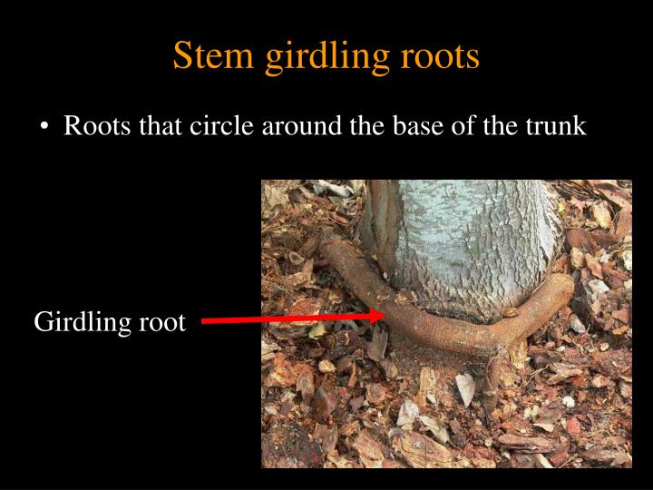 Stem girdling roots