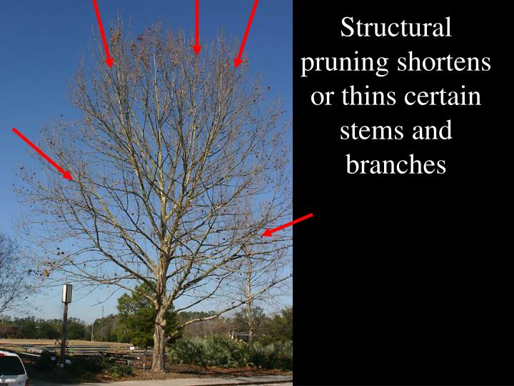 Structural pruning shortens or thins certain stems and branches
