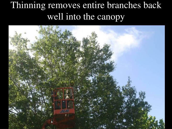 Thinning removes entire branches back well into the canopy