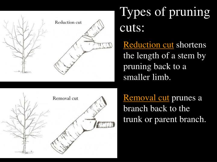Types of pruning cuts: