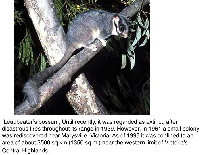 Leadbeater's possum, Until recently, it was regarded as extinct, after disastrous fires throughout its range in 1939. However, in 1961 a small colony was rediscovered near Marysville, Victoria. As of 1996 it was confined to an area of about 3500 sq km (1350 sq mi) near the western limit of Victoria's Central Highlands.