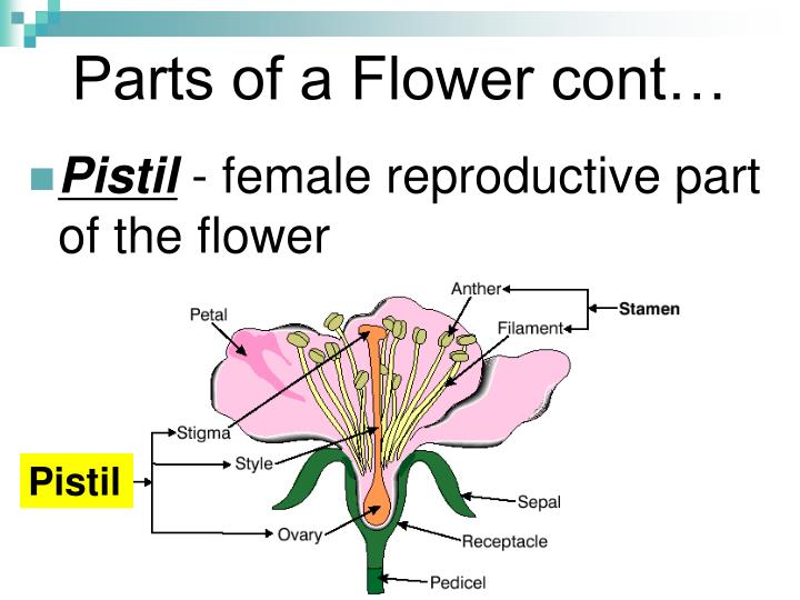 parts of the flower Flower parts worksheet label the flower using the words provided below anther style filament nectary petal sepal ovary stigma.