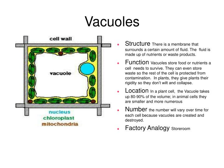 central vacuole analogy