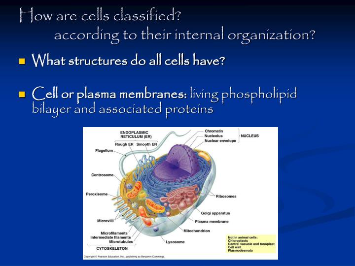 How are cells classified?